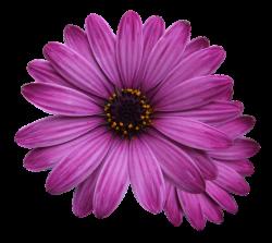 flower marigolds